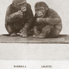 Poached Gorillas Print