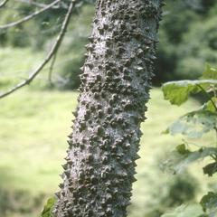 Pochota quinata (Bombacaceae)