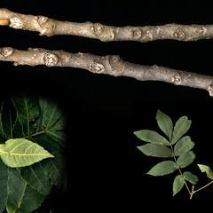 Carya cordiformis composite : leafy twig, winter twig and apical bud