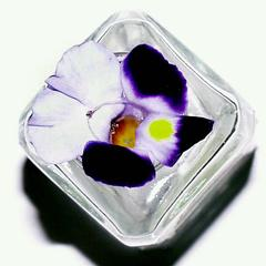 Face view of a flower of Torenia