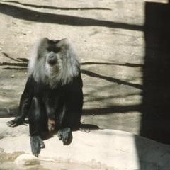 Macaca silenus