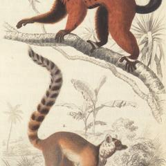Red-Ruffed and Ring-Tailed Lemur Print