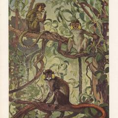 Talapoin and Mustached Monkeys