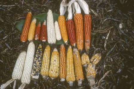 Corn from casita above San Antonio Huista
