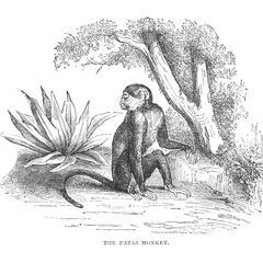 The Patas Monkey