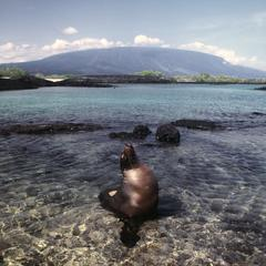 Galápagos Sea Lion (Zalphus wollebacki)