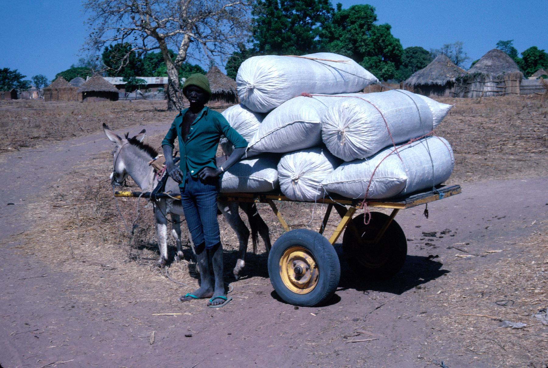 Young Man with Donkey Cart Loaded with Bags of Groundnuts