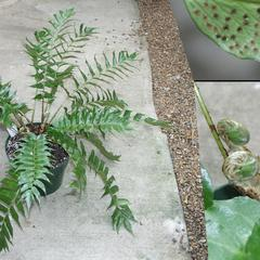 Composite of holly fern