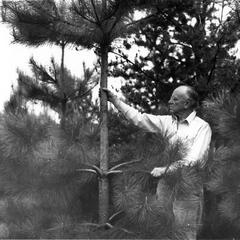 Examining red pines near the Shack, 1946