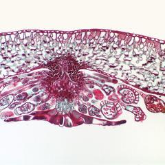 Holly fern, Cyrtomium falcatum - section through sorus
