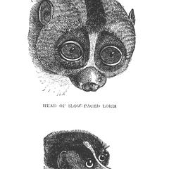 Head of Slow-Paced Loris and Head of Slender Loris