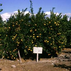 Orange Grove in Delta