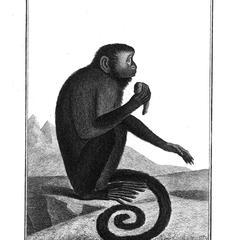 Le Sajou brun (Brown capuchin)