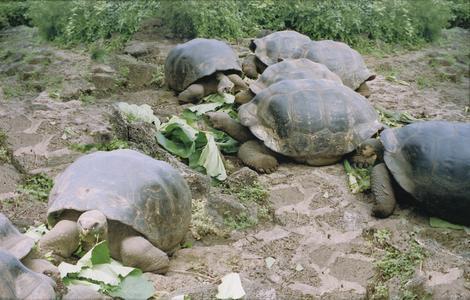 Galápagos Tortoises (Geochelone elephantopus)