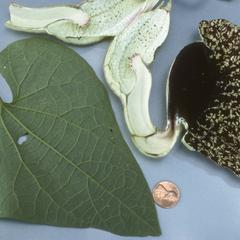 Leaf and flower of a species of Aristolochia in rainforest near Cuilapa