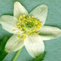 Anemone quinquefolia flower