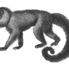 Woolly Monkey Print