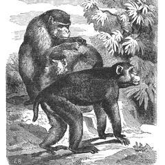 The Bengal Monkey