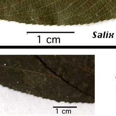 Leaf margins of two different species of willow