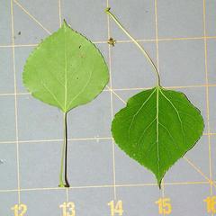 Trembling aspen leaves