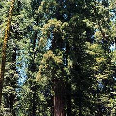 Young tree of coastal redwood