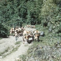 Ox-cart train carrying butter near St. Cruz de Turrialba