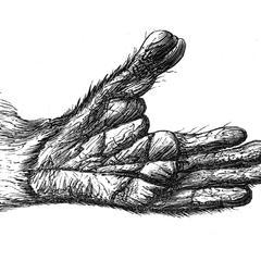 Main postérieure du maki vari