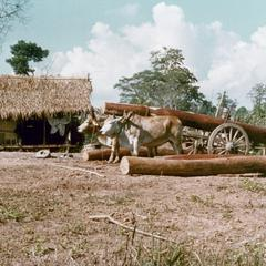 Contructing a new house in a village with oxen and logs in Houa Khong Province