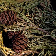 Sequoiadendron giganteum - fallen branch with ovulate cones