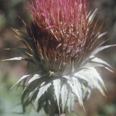 Flowering head of a thistle, northwest of Popo peak