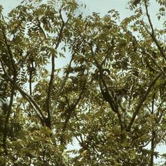 Cercopithecus mona
