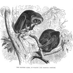 The Slender Loris, in Waking and Sleeping Posture