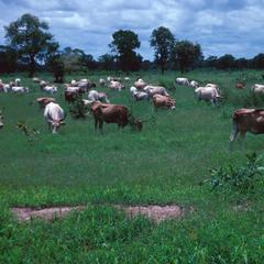 N'dama Cattle Grazing During the Rainy Season