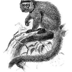 Capuchin Print
