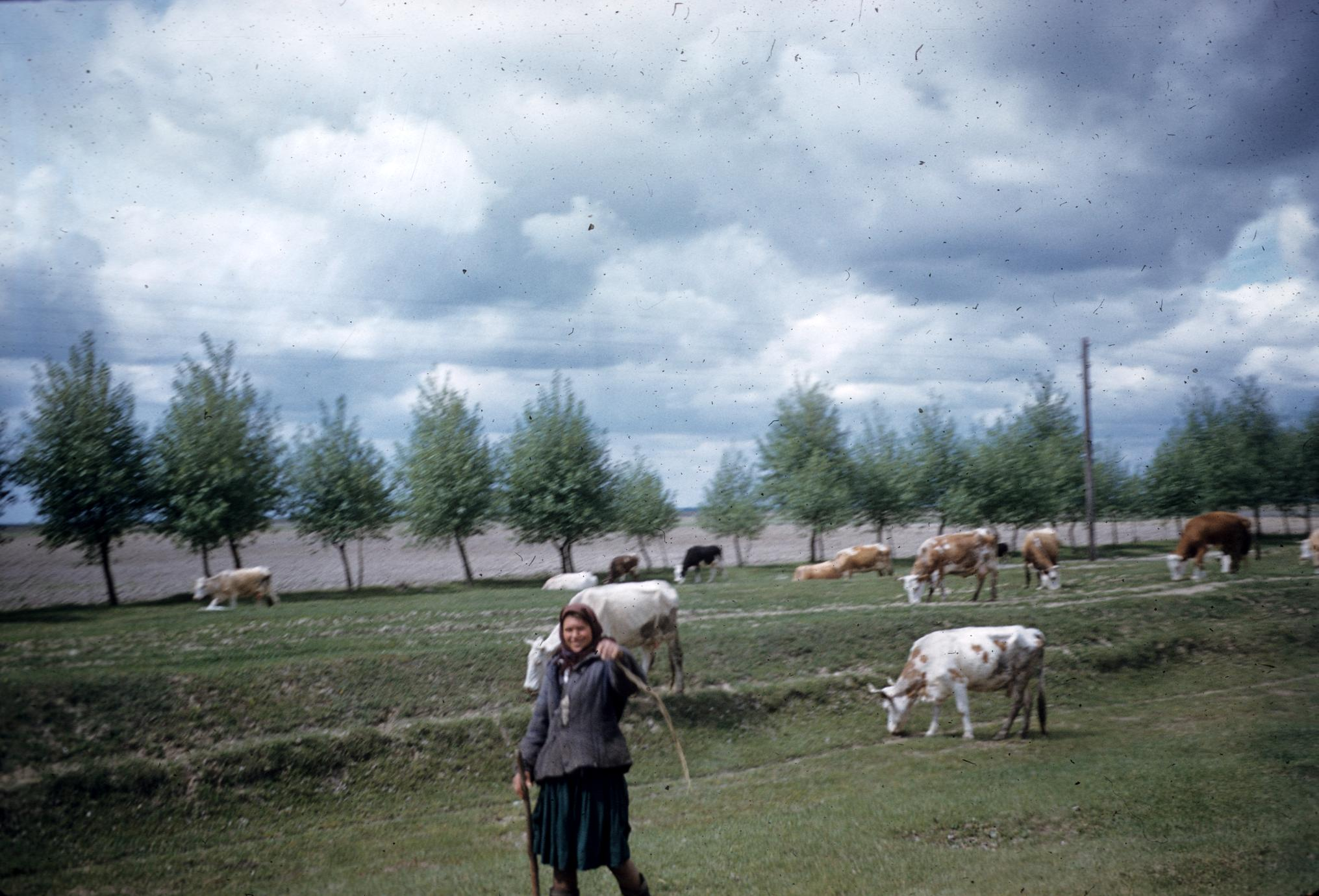 Woman and cattle
