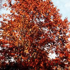 Fall foliage of northern red oak