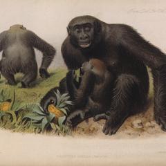 Gorilla Family Print