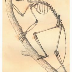 Propithecus verreauxii