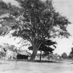 The Big Tree of Lifura Mba in Mbe