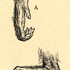 Fig. 6--A. Main; B. Pied de l'Orang-Outan