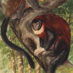 Callicebus hoffmannsi (upper monkey), Callicebus torquatus torquatus (lower monkey)