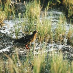 Galápagos Dove (Zenaida galapagoensis)