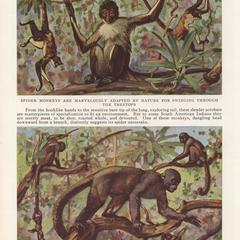 Spider Monkeys and Woolly Monkeys