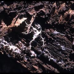 Mycelium on the underside of a rotting log, Ridgeland
