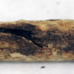 Bird bone fragment