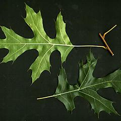 Leaves of black oak