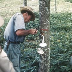 Rubber tapping, La Hulera Plantation