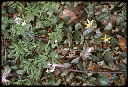 Dentaria laciniata and Erythronium americanum in bloom in Gallistel Woods, University of Wisconsin Arboretum