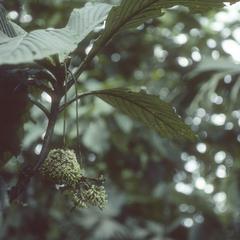 Boraginaceae(?) inflorescence, Patricia Pilar