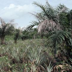 Oba Oladele Olashore's farm crops